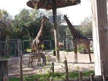 两匹长颈鹿和斑马在坦帕动物园 库存照片