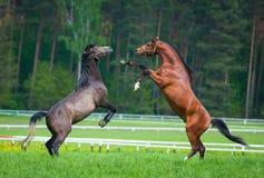 两匹阿拉伯公马 库存图片