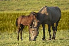 两匹马、棕色驹和母亲 免版税库存照片