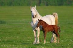 两匹马、棕色驹和白母亲 免版税库存图片