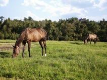 两匹马使用在草甸的母马和驹的图象 栗子纯血种马马 免版税图库摄影