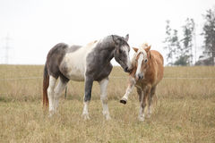 两匹马使用 免版税图库摄影
