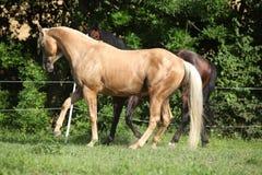 两匹马使用 免版税库存照片