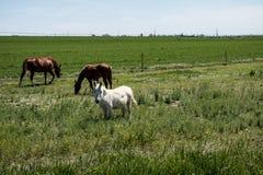 两匹马和一个小的白马 免版税图库摄影