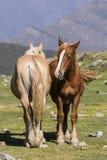 两匹马在互相旁边站立在一个草甸在比利牛斯 库存照片