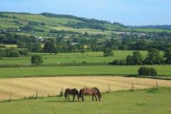 两匹马在农田吃草 免版税库存图片