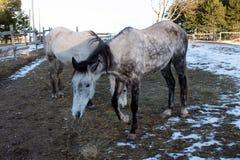 两匹马在冬天吃草 库存照片