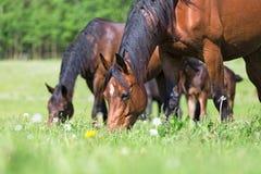 两匹马在夏天牧场地 免版税库存照片