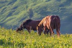 两匹马在山平原吃草点燃与太阳 免版税库存图片