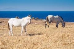 两匹马在干燥草甸吃草 免版税库存照片