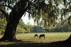 两匹马在有小橡树树和杜娟花的一个s南部的庭院里吃草 库存图片