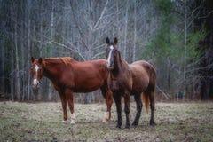 两匹马在森林 图库摄影