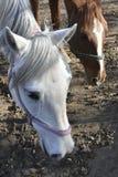 两匹马在牧场地 库存图片