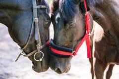 两匹马接触互相朝向 图库摄影
