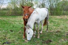 两匹马白色和栗子上色了一投入放牧 库存照片