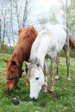 两匹马白色和栗子上色了一投入放牧 图库摄影