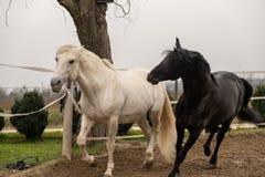 两匹马,一白色和一黑,一起演奏,吃和获得乐趣 不同颜色马在狂放的 库存照片