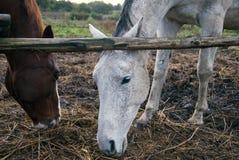两匹马,两种颜色 免版税库存照片