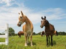 两匹马,大和小 免版税库存照片