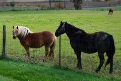 两匹马,有白色鬃毛和黑色的布朗 库存照片