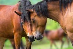 两匹马画象关闭 免版税库存图片