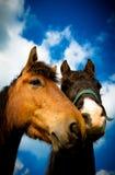 两匹马画象从萨罗普郡,英国的 免版税库存照片