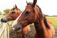 两匹马临近篱芭 库存照片