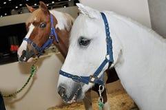 两匹马 库存照片