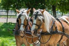 两匹Haflinger马准备好支架 免版税库存图片