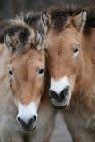 两匹Przewalski的马 库存图片