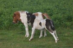 两只一点Dartmoor驹 库存图片