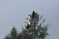 两只与树和蓝天的飞行的灰色鹅分析服务公司分析服务公司 免版税库存照片
