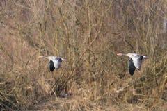 两只与树的灰色鹅分析服务公司分析服务公司飞行 免版税库存照片