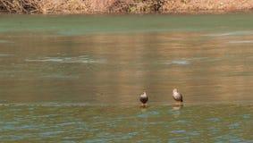 两只东部斑点开帐单的鸭子在河 免版税库存图片