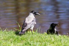两只乌鸦在春天 库存照片