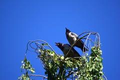 两只乌鸦的交谈 免版税库存图片