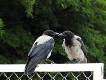 两只乌鸦鸟,立陶宛 免版税库存图片