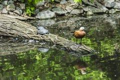两只乌龟和野鸭在日志 免版税库存图片