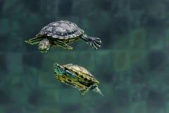 两只乌龟在动物园的一个水族馆游泳 免版税库存照片