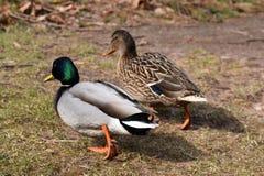 两只五颜六色的鸭子特写镜头在a的湖岸在卡塞尔,德国 免版税库存照片