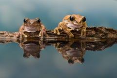 两只亚马逊牛奶青蛙 免版税库存照片