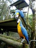 两只亲吻的青和黄色金刚鹦鹉 免版税库存图片