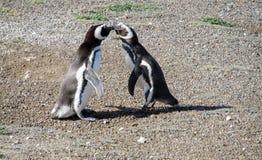 两只企鹅亲吻 库存图片