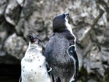 两只企鹅射击  库存照片