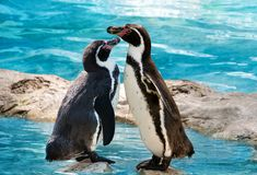 两只企鹅站立 免版税库存图片