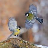 两只伟大的山雀相冲突显示与所有愤怒和明亮的全身羽毛 库存照片