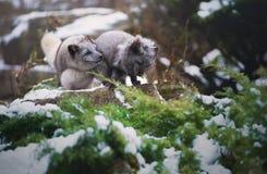 两只使用的灰色上漆的极性狐狸 图库摄影