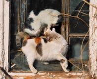 两只使用的猫 图库摄影