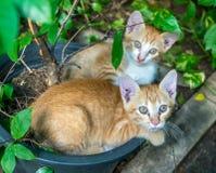 两只兄弟姐妹小猫被放置的里面花盆 图库摄影