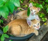 两只兄弟姐妹小猫被放置的里面花盆 免版税图库摄影